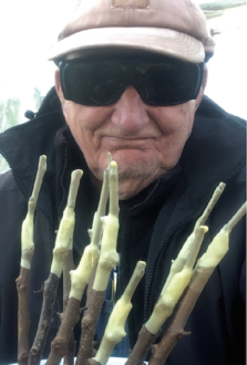 Jerry Mills holds grafted rootstocks